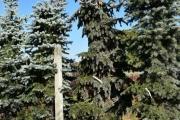Picea pungens 'Moerheim' C160 250-300