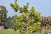Pinus thunbergii 'Ogon' C90 175-200