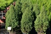 Picea glauca 'Conica' C10 80-100