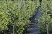 Picea omorika C10 100-125