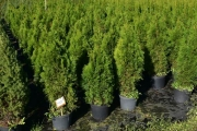 Thuja occidentalis 'Smaragd' C10 100-125