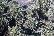 Juniperus horizontalis 'Wiltonii' C3 20-30