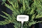 Juniperus sabina 'Tamariscifolia' C3 20-30