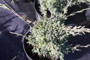 Juniperus squamata 'Holger' C3 15-20