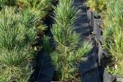 Pinus cembra P15 30-40