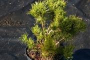 Pinus mugo var. pumilio C2 20-30