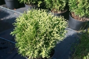 Thuja occidentalis 'Hoseri' C3 20-30
