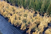 Thuja occidentalis 'Yellow Ribbon' C3 30-40