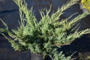 Juniperus sabina 'Glauca' C5 40-60