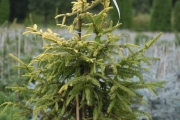Picea abies 'Końca' C10 80-100