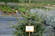Picea omorika 'Aurea' C10 100-125