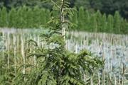 Picea orientalis 'Aureospicata' C10 100-125