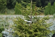 Picea orientalis 'Golden Start' C10 100-125