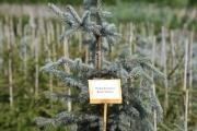 Picea pungens 'Erich Frahm' C10 80-100