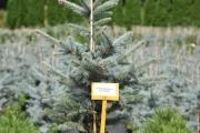 Picea pungens 'Fat Albert' C10 60-80