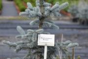 Picea pungens 'Hoopsii' C10 60-80