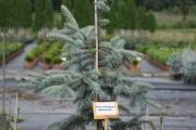Picea pungens 'Moerheim' C10 80-100