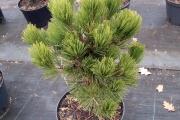 Pinus heldreichii 'Compact Gem' C10 40-60