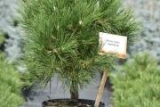 Pinus nigra 'Spielberg' C10 40-60