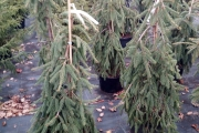 Picea abies 'Frohburg' C20 125-150
