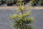 Picea abies 'Końca' C20 150-175
