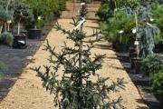 Picea glauca 'Coerulea' C20 150-175