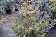 Picea omorika 'Aurea' C20 125-150
