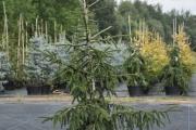 Picea orientalis 'Aureospicata' C20 150-170