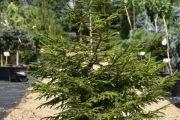 Picea orientalis 'Golden Start' C20 100-125