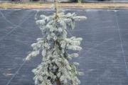 Picea pungens 'Moerheim' C20 125-150