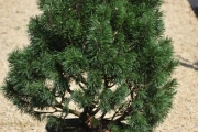 Pinus mugo 'Knapenburg' C20 60-80