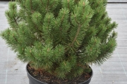 Pinus mugo 'Yellow Tip' C20 60-80