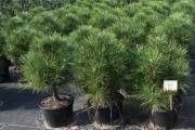 Pinus nigra 'Spielberg' C20