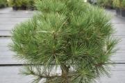 Pinus nigra 'Spielberg' C20 60-80