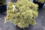 Pinus sylvestris 'Fjell Teppich' C20 60-80