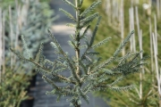 Picea obovata var. glauca C5 40-60
