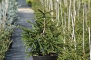 Picea orientalis 'Atrovirens' C5 60-80