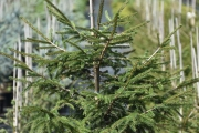 Picea orientalis 'Golden Start' C5 60-80