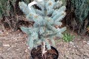Picea pungens 'Oldenburg' C5 40-60