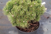 Pinus mugo 'Hnízdo' C4 20 30