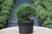 Pinus mugo 'Minikin' C4 20-30