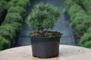 Pinus mugo 'Mops' C4 20-30