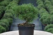 Pinus mugo 'Paradekissen' C4 20-30