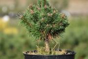 Pinus mugo 'San Sebastian 24 Xenie' C4 20-30