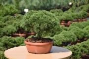 Pinus mugo 'Litomyšl' C7 decor 30-40