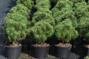 Pinus mugo 'Litomyšl' C7,5 30-40