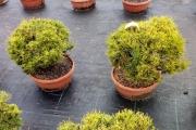 Pinus mugo 'Michal' C7 decor 30-40