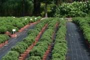 Pinus mugo 'Mops Midget' C7 decor
