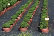 Pinus mugo 'Nerost' C7decor 20-30