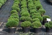 Pinus mugo var. pumilio C7,5
